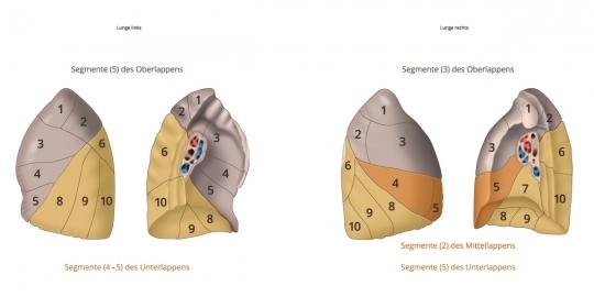 Atmung LUNGE Segmente - Atmungssystem - Photo Video Store