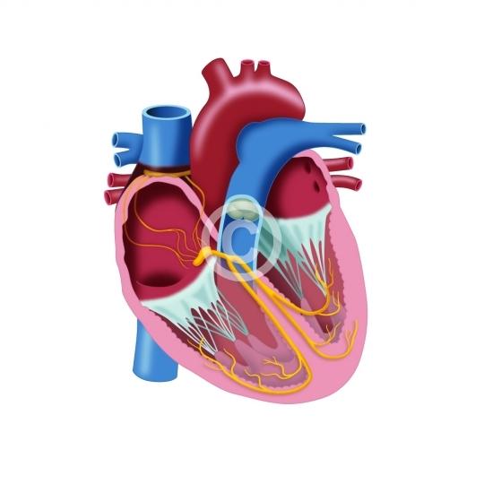Herz Reizleitungssystem - Blut / Herz - Photo Video Store